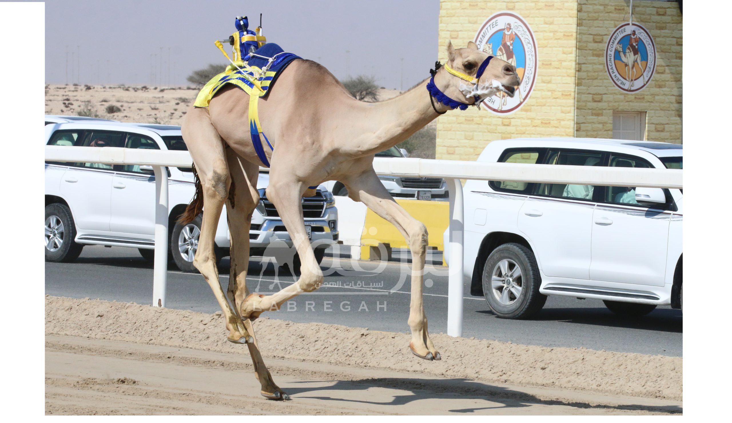 هجن الغرافة وشعار الشيخ عبدالعزيز بن حمد يدشنان السباق المحلي السابع