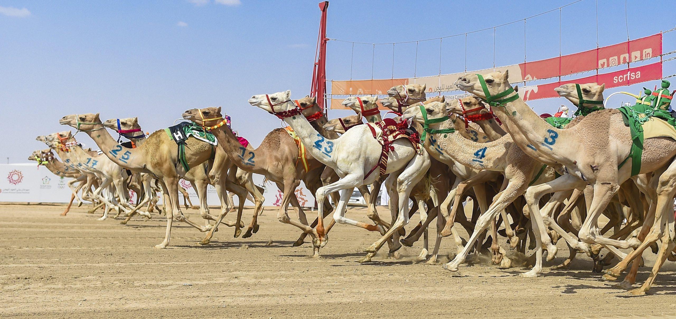 هجن الشحانية تواصل التألق بمهرجان ولي العهد للهجن وتحصد رمز الثنايا بكار مفتوح